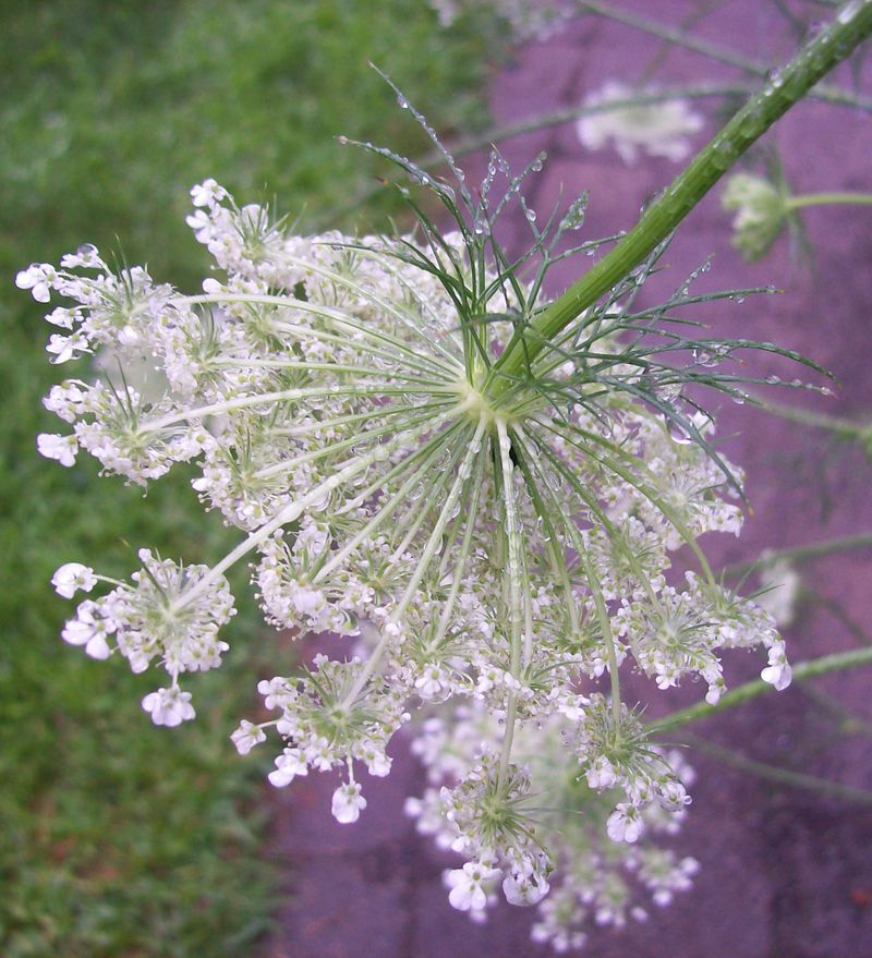 Queen anne droplets